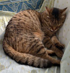 unbekannte graue Tigerkatze in Sprockhövel