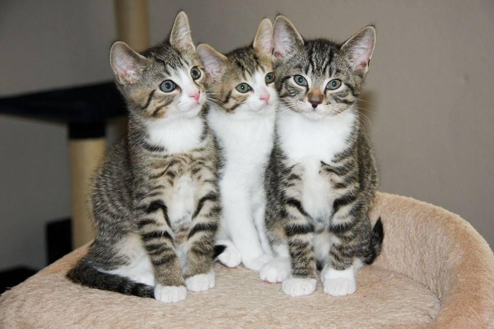 drei grau-weiß-getigerte Kitten schauen neugierig auf den Besucher im Katzenhaus