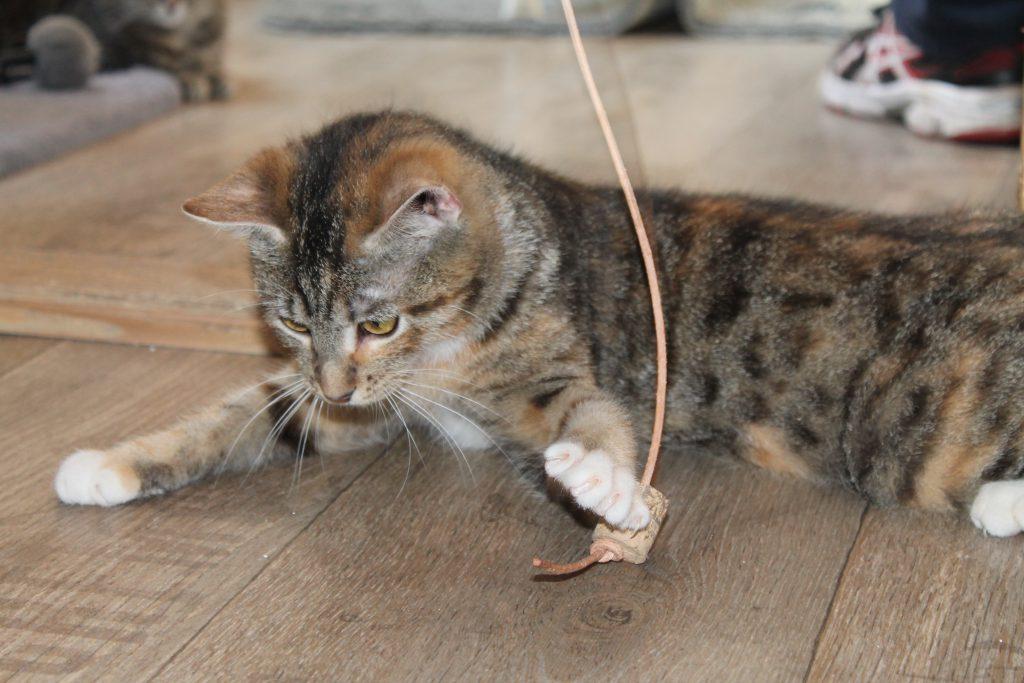 ein graugetigertes Kitten spielt mit einer Angel im neuen Katzenhaus