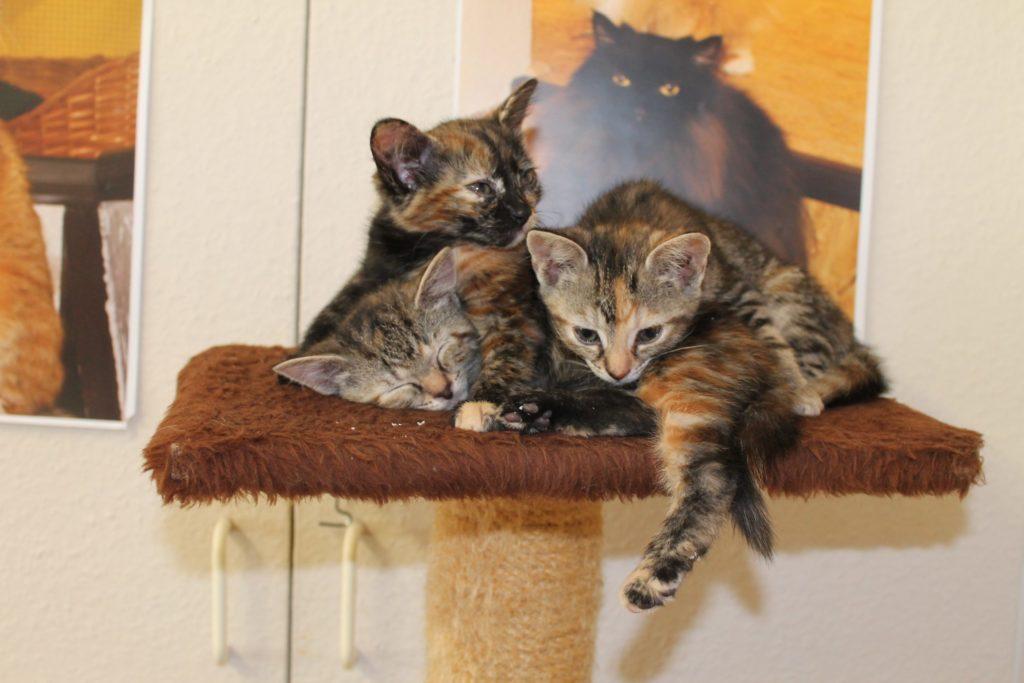 drei grau-rot-getigerte Kitten sitzen auf einem Kratzbaum im Katzenhaus