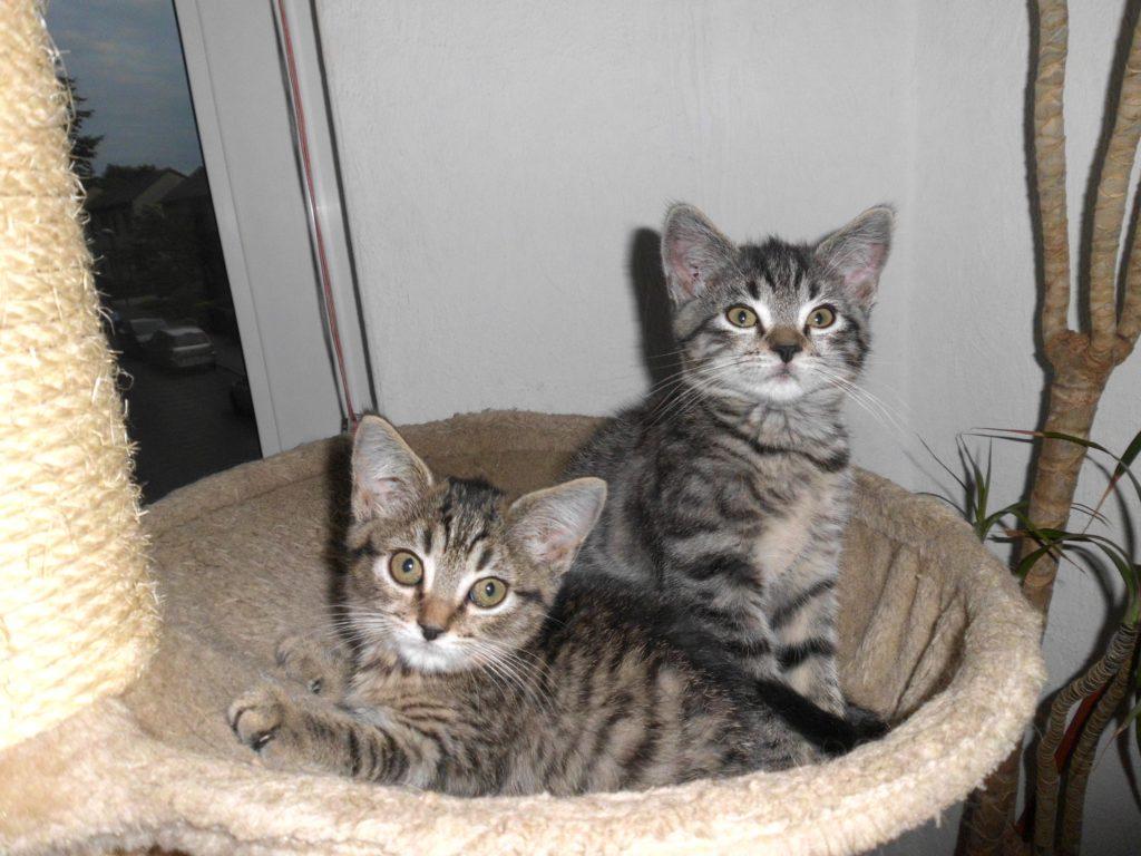 zwei graugetigerte Kitten schauen aufmerksam in die Kamera