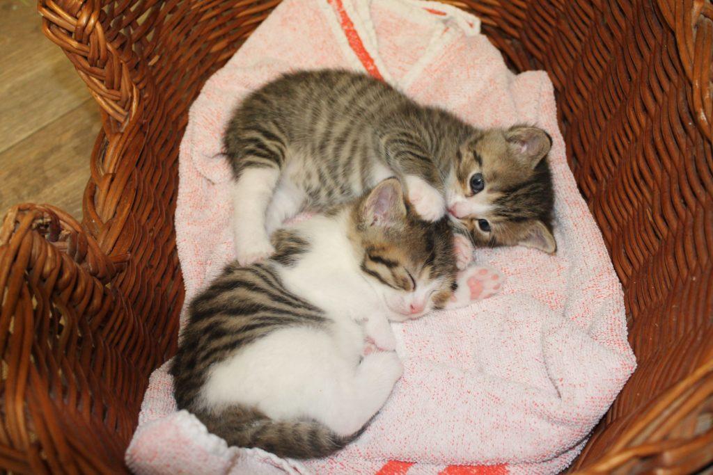 zwei grau-weiß-getigerte Kitten spielen in einem Korb im Katzenhaus